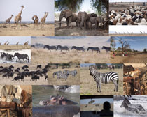 斑马大象长颈鹿摄影高清图片
