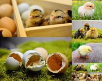 小鸡与鸡蛋摄影高清图片