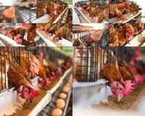 养殖鸡摄影高清图片
