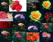 色彩玫瑰花朵摄影高清图片
