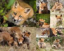 可爱小狐狸摄影高清图片