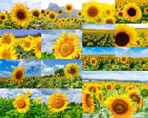 向日葵花朵拍摄高清图片
