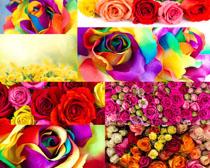 美丽的色彩玫瑰摄影高清图片