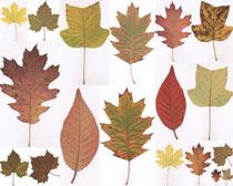 美丽的叶子摄影高清图片