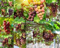 树枝上的葡萄摄影高清图片