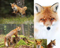 动物狐狸摄影时时彩娱乐网站