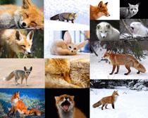 雪地狐狸摄影时时彩娱乐网站