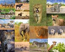 斑马老虎狮子动物摄影时时彩娱乐网站