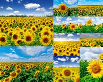 美丽的向日葵花朵摄影高清图片