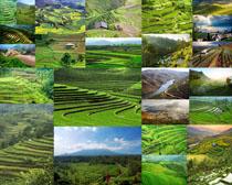 绿色茶园景观摄影高清图片