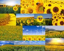向日葵花朵摄影高清图片