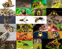勤劳的蜂蜜摄影高清图片