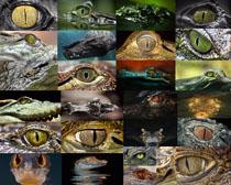 鳄鱼眼晴摄影高清图片