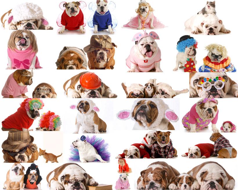 可爱哈巴狗动物摄影高清图片
