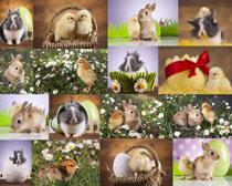 可爱小鸡兔子摄影高清图片