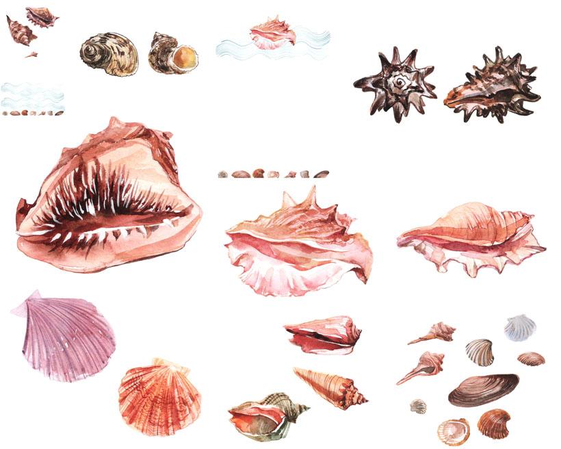 貝殼海螺攝影高清圖片