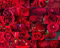 美丽的玫瑰花朵摄影高清图片