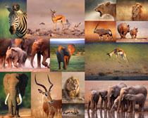 獅子大象斑馬動物攝影高清圖片