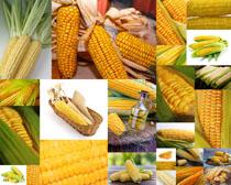 新鲜玉米展示拍摄高清图片