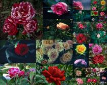 美丽的玫瑰花摄影高清图片