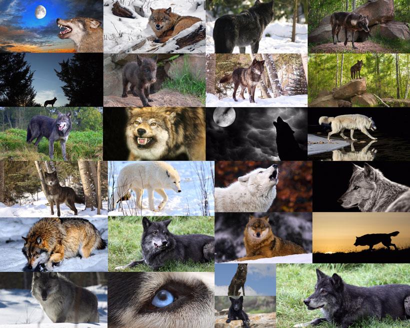 兇猛的狼動物攝影高清圖片