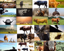 草原上的公牛摄影高清图片