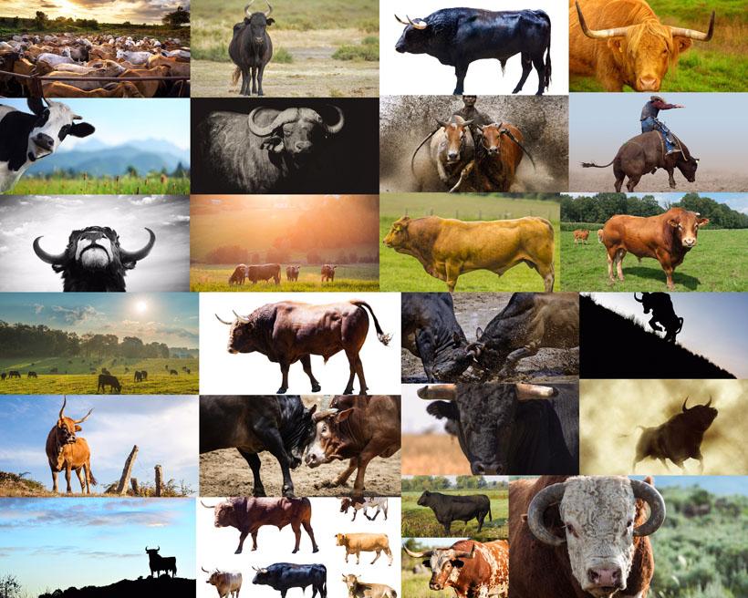 草原上的公牛攝影高清圖片
