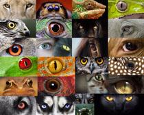 動物的眼晴攝影高清圖片