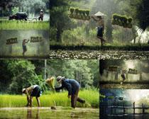 稻田與男人攝影高清圖片