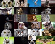 猫头鹰眼神摄影高清图片