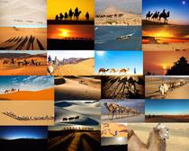 沙漠骆驼动物摄影高清图片