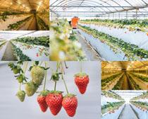 草莓植物果園攝影高清圖片