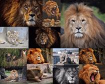 凶猛的狮子拍摄高清图片