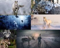 狼豹子马动物摄影高清图片