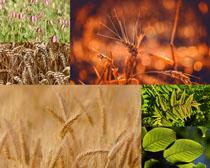 小麥與植物綠葉拍攝高清圖片