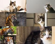 老虎與貓咪攝影高清圖片