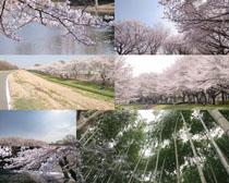 美麗漂亮的櫻花攝影高清圖片