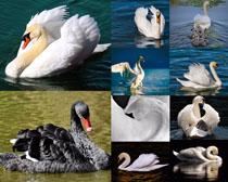 美丽的天鹅摄影高清图片