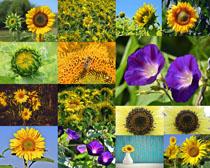 向日葵花朵�z影高清�D片