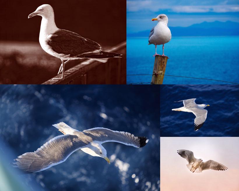 海鸥鸟类摄影时时彩娱乐网站