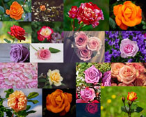 色彩玫瑰花朵拍攝高清圖片