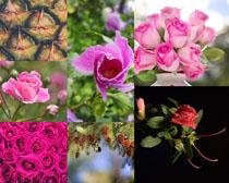 玫瑰花朵與植物攝影高清圖片