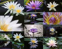 开花的美丽荷花拍摄高清图片