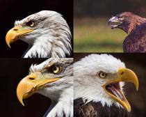 老鹰动物摄影高清图片