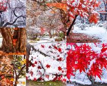 红叶雪景拍摄高清图片