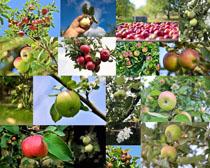 丰收成熟苹果拍摄高清图片