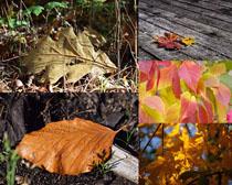 漂亮的樹葉楓葉攝影高清圖片