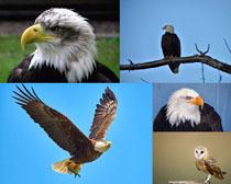 老鷹兇猛飛鳥攝影高清圖片