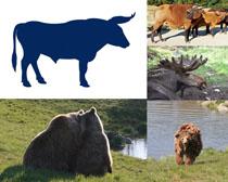 牛與狗熊攝影高清圖片