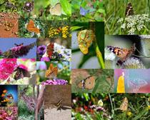 花丛中的蝴蝶摄影高清图片
